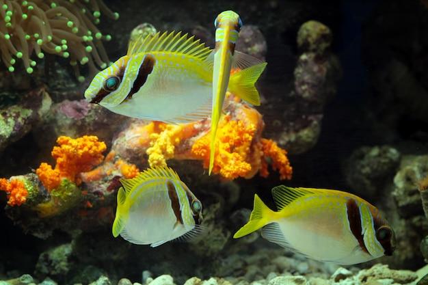 Beaux Poissons Marins Sur Les Récifs Coralliens Photo Premium