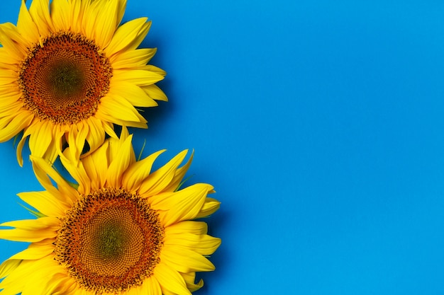 Beaux tournesols sur bleu Photo Premium