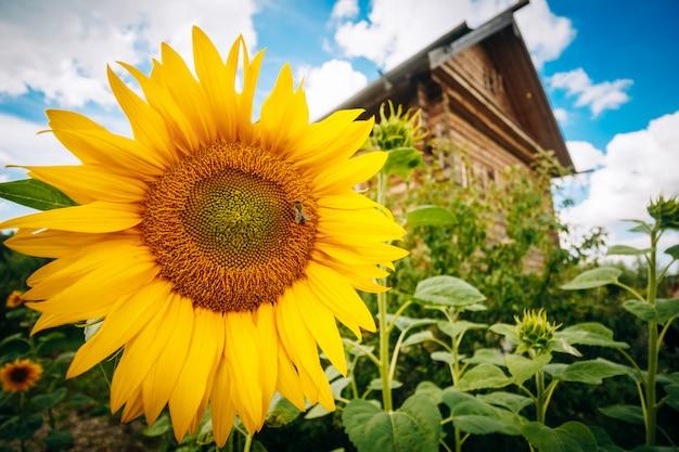 Beaux tournesols sur la maison et le ciel Photo Premium
