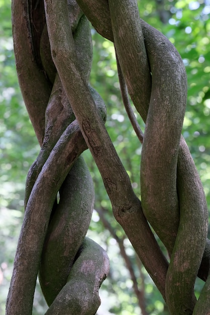Beaux troncs ressemblant à des lianes tressés les uns aux autres close-up Photo Premium