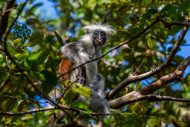 Bébé Colobine Gris Et Brun Assis Sur Une Branche D'arbre Dans La Jungle Photo gratuit