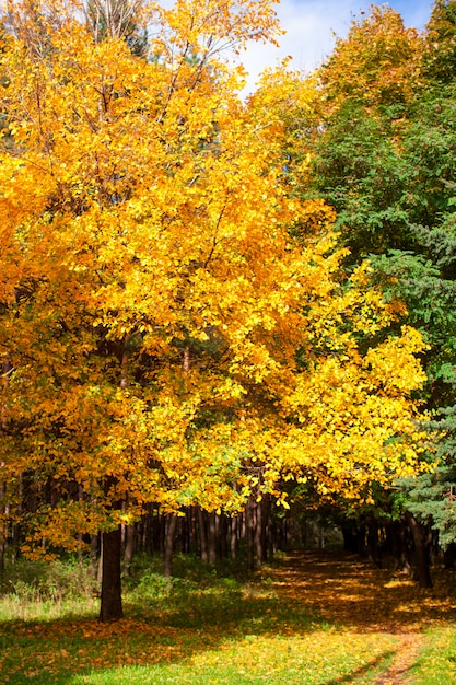 Bel arbre d'automne au feuillage jaune et doré au soleil Photo Premium
