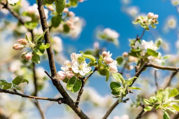 Le bel arbre fleurissant au printemps Photo Premium