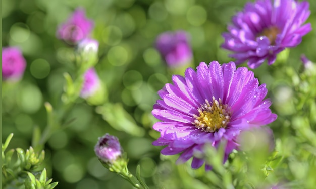 Bel aster rose couvert de gouttes dans un parterre de fleurs Photo Premium