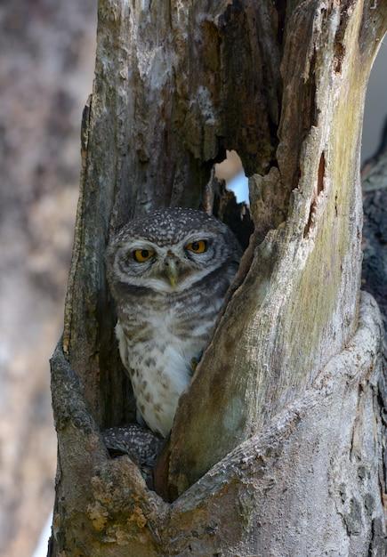Bel oiseau, hibou tacheté dans un arbre creux, athene brama Photo Premium