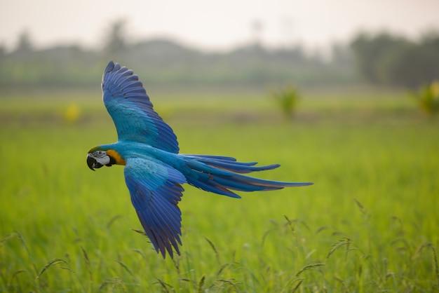 Belle action de vol d'un oiseau ara dans le champ Photo Premium