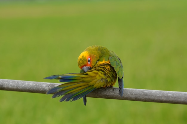 Belle belle perroquet, sun conure. Photo Premium
