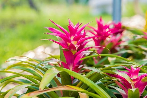 Belle de broméliacées dans le jardin de broméliacées. Photo Premium