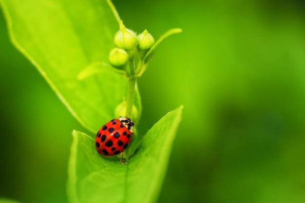 Belle coccinelle rouge rampant sur une feuille verte, beau fond naturel. Photo Premium