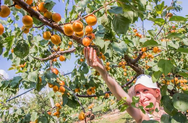 Belle femme cueillant des abricots éclairés par une chaude lumière d'été Photo Premium