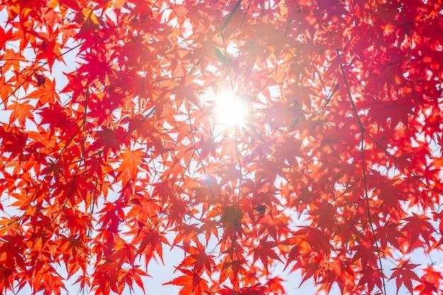 Belle feuille d'érable rouge et vert sur l'arbre Photo gratuit