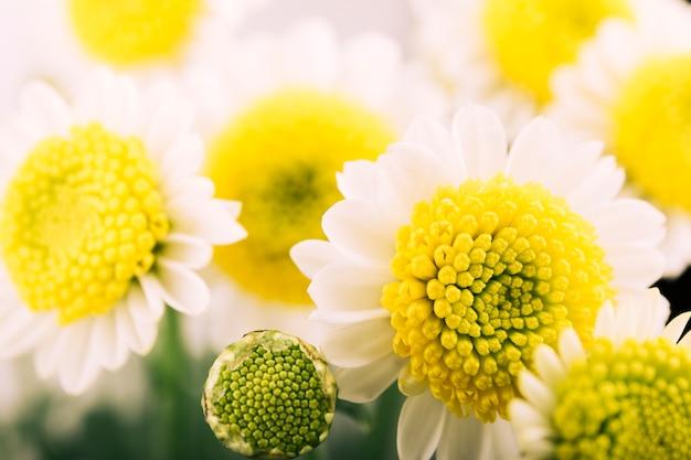 Belle fleur de camomille et bourgeon qui fleurit dans le jardin Photo gratuit