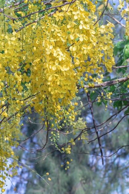 Belle fleur de cassia fistula en fleurs dans un jardin Photo Premium