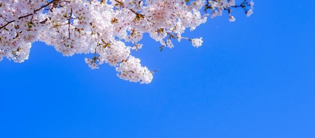 Belle fleur de cerisier ou arbre de fleurs de sakura rose au printemps Photo Premium