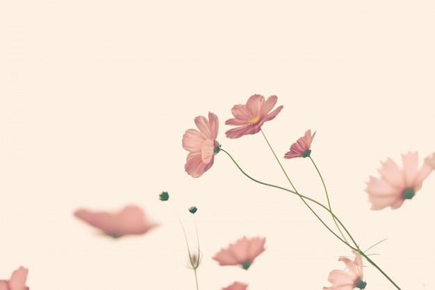 Belle fleur cosmos avec filtre. Photo Premium