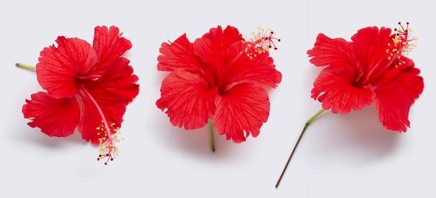 Belle fleur d'hibiscus rouge en pleine floraison Photo Premium
