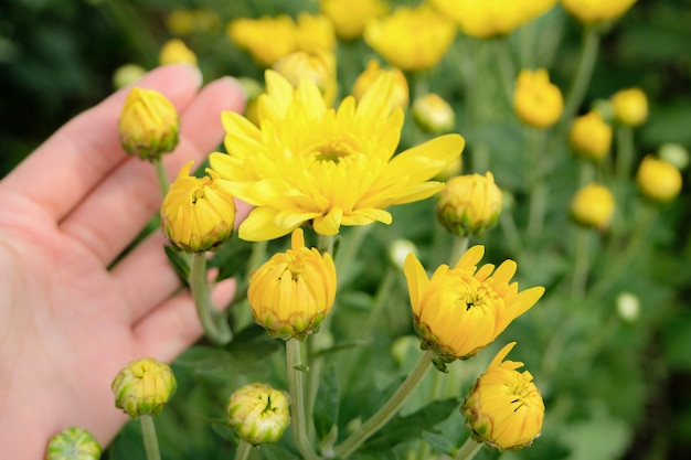 Une Belle Fleur Jaune De Chrysanthème Dans Une Main Avec ...