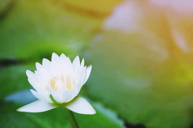 Belle Fleur De Lotus Blanche Dans Le Lac Et Plantes à Fleurs De Lotus, Fleur De Lotus Blanc Pur. Photo Premium