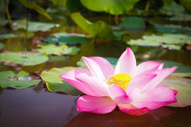 Belle fleur de lotus rose dans la nature pour le fond Photo Premium