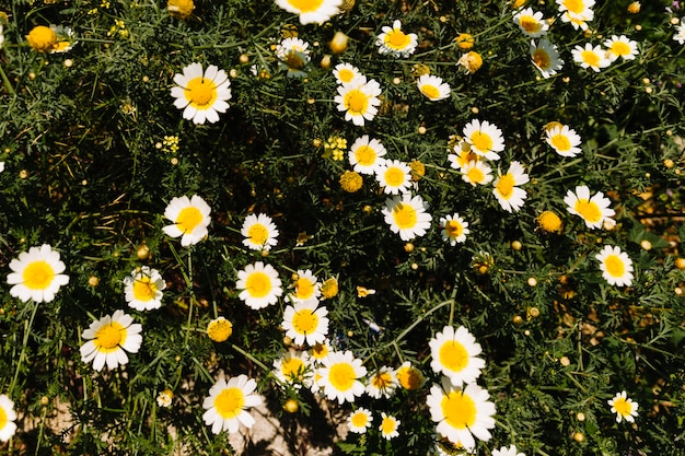 Belle Fleur De Marguerite Blanche En Fleurs Telecharger Des Photos
