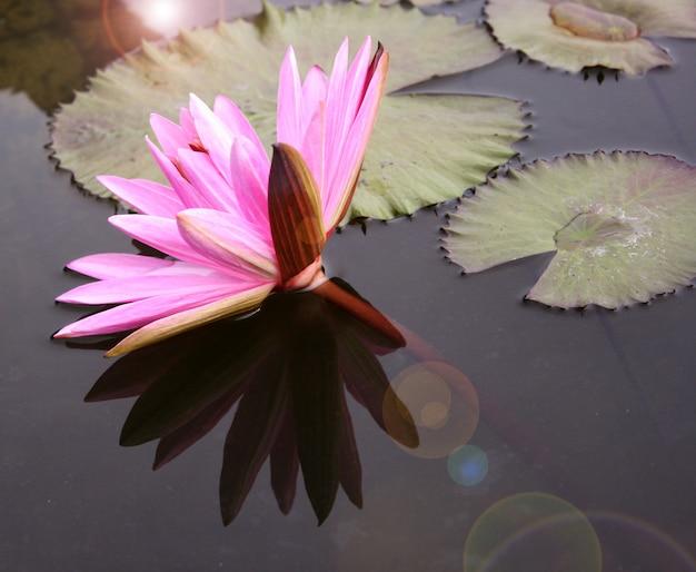 Belle fleur de nénuphar ou lotus Photo Premium