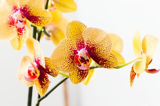 Belle fleur d'orchidée lumineuse - magnifique plante d'intérieur sur la tige. Photo Premium