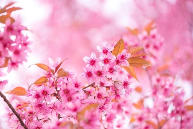 Belle Fleur Rose Sauvage Fleur De Cerisier De L Himalaya Prunus