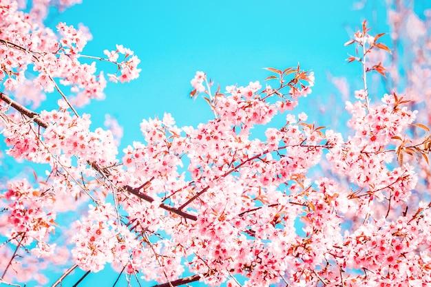 Belle fleur de sakura rose qui fleurit sur fond de ciel bleu faible profondeur de champ Photo Premium