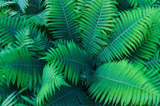 Belle fougère verte laisse dans la forêt. fond avec des fougères naturelles. Photo Premium