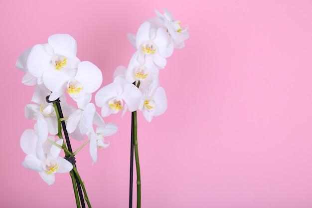 Belle orchidée blanche sur fond rose Photo Premium