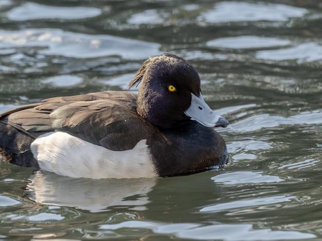 Belle Photo De Canard Touffeté Nageant Sur Le Lac Photo gratuit