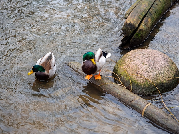 Belle Photo De Deux Canards Dans Une Rivière Près De La Rive Photo gratuit