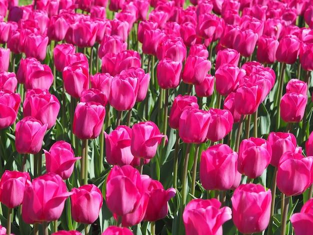 Belle Photo De Fascinantes Plantes à Fleurs Tulipa Sprengeri Au Milieu Du Champ Photo gratuit