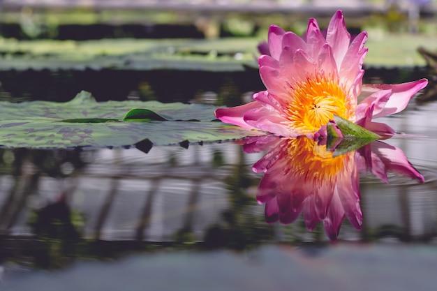 Belle Photo D'une Fleur Rose Qui Coule Sur L'eau Photo gratuit