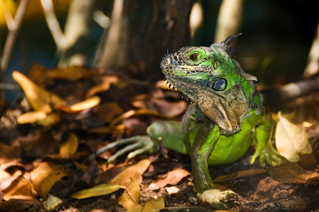 Belle Photo D'un Iguane Vert Avec Un Motif Flou Photo gratuit