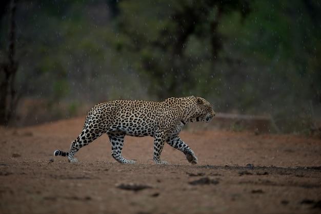 Belle Photo D'un Léopard Africain Marchant Sous La Pluie Avec Un Arrière-plan Flou Photo gratuit