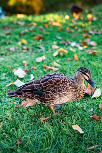 Belle Photo D'un Mignon Canard Colvert Marchant Sur L'herbe Photo gratuit