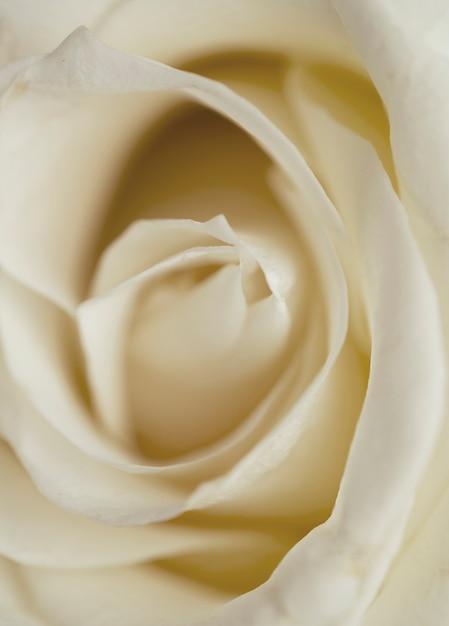 Belle rose blanche closeup Photo gratuit