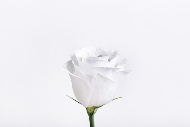 Belle Rose Blanche Isolée Photo gratuit