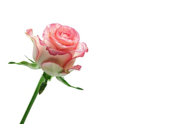 Belle rose isolée sur blanc Photo Premium