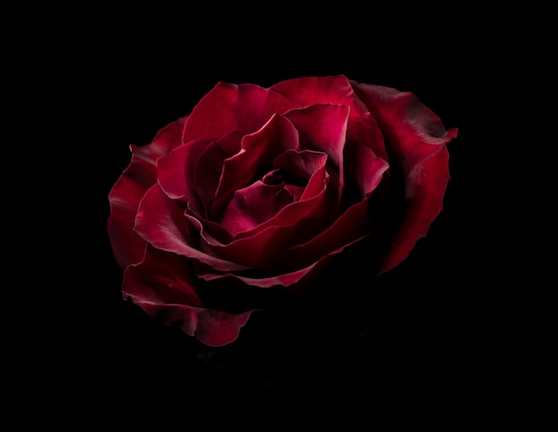 Premier amour - Georges Rodenbach Belle-rose-rouge-dans-obscurite-fond-naturel-floral-sombre-maussade_106630-180