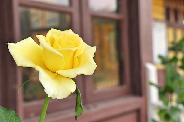 Belle rose en tropical Photo Premium