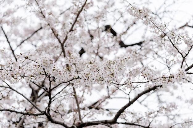 Belle sakura, fleur de cerisier Photo Premium