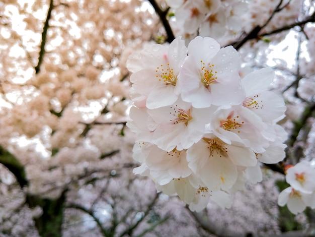 Belle sakura en pleine floraison à la saison dans le parc, osaka, japon Photo Premium