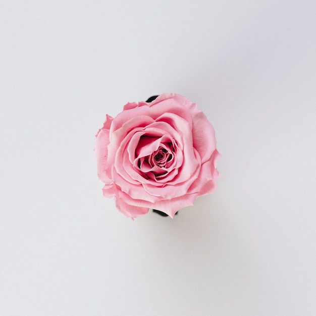 Belle Seule Rose Rose Isolée Sur Blanc Photo gratuit