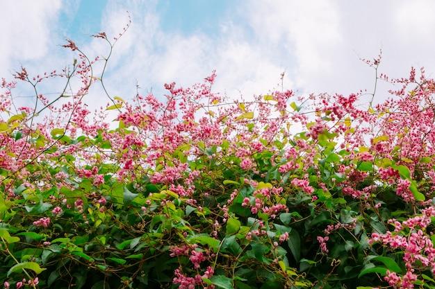 Belle Vigne De Corail Rose Ou Plante Grimpante Mexicaine Ou