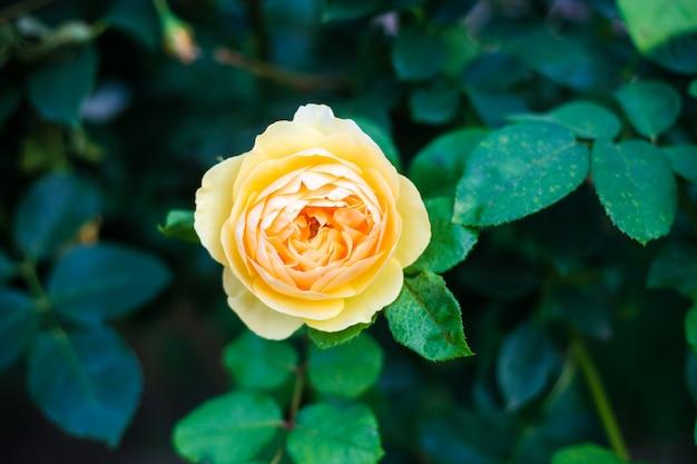 Belle yellowe rose gros plan dans le jardin Photo Premium