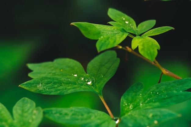 Belles feuilles vert vif de dicentra Photo Premium