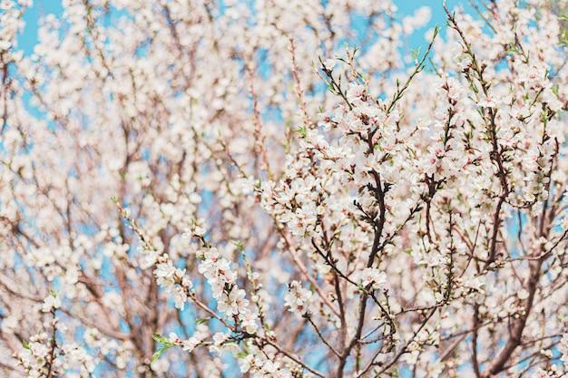 Belles Fleurs D'amandier Dans L'arbre Avec Un Ciel Bleu Derrière Au Printemps Photo Premium