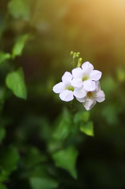 Belles fleurs blanches avec la lumière du soleil dans le fond de la nature Photo Premium